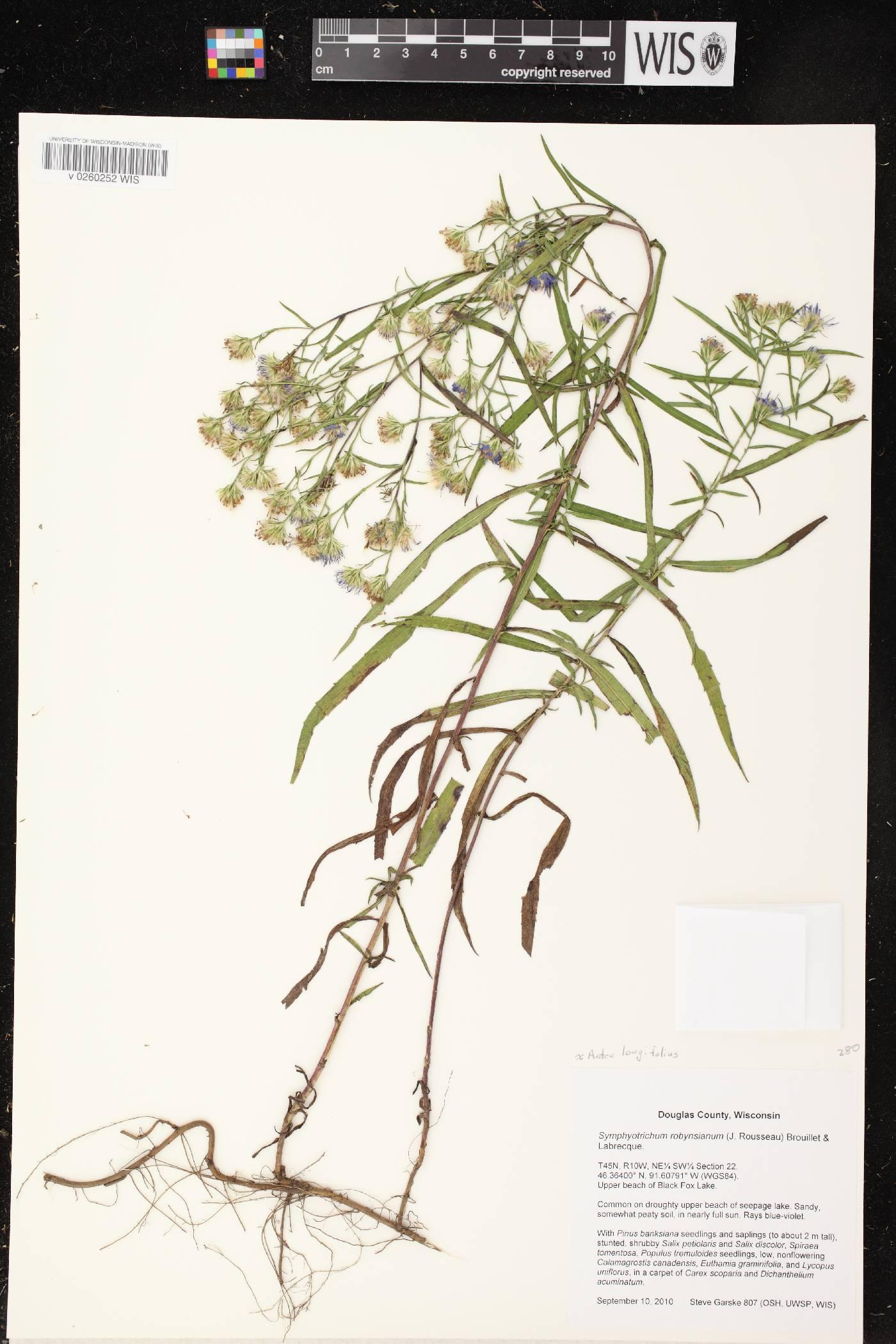 Symphyotrichum robynsianum image