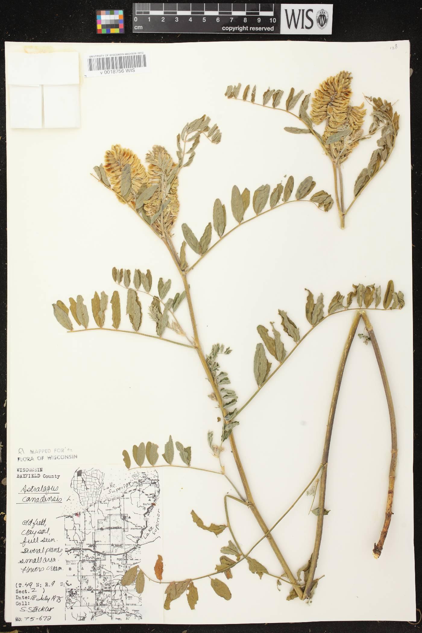 Astragalus canadensis var. canadensis image