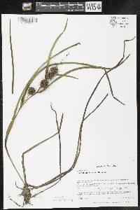 Sparganium emersum image