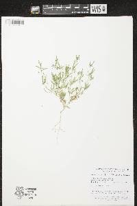 Mollugo verticillata image