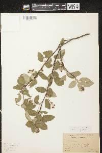Amelanchier spicata image