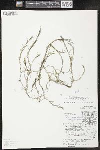 Najas guadalupensis subsp. guadalupensis image