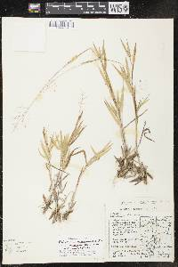 Image of Dichanthelium columbianum