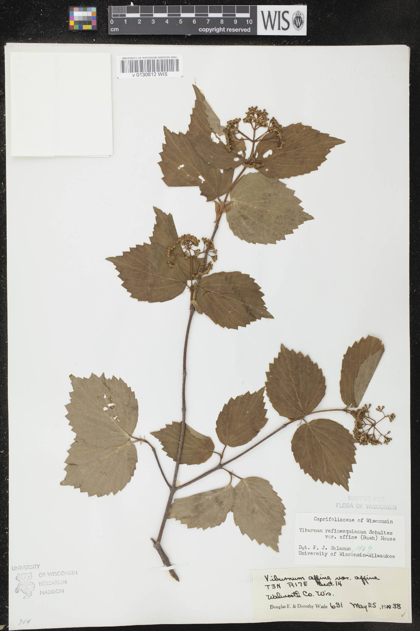Viburnum rafinesquianum image