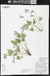 Image of Viola x subsinuata