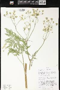 Image of Anthriscus sylvestris