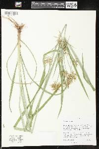 Image of Cyperus