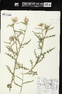 Carduus acanthoides subsp. acanthoides image