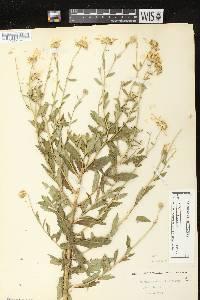 Leucanthemella serotina image