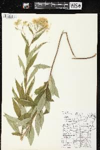 Doellingeria umbellata var. pubens image