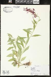 Lobelia cardinalis var. cardinalis image
