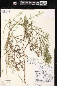 Symphyotrichum lanceolatum X S. puniceum image