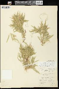 Dichanthelium meridionale image