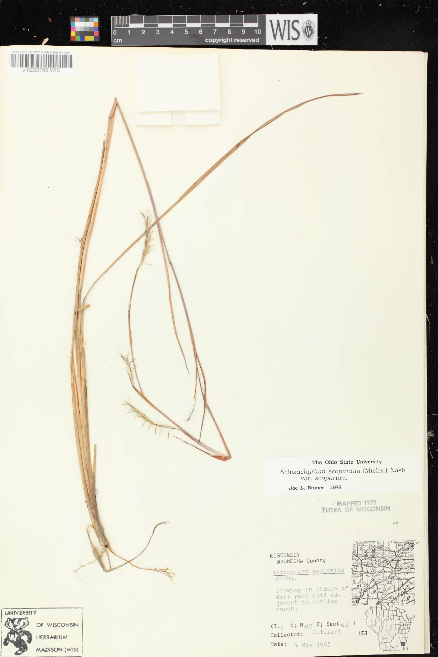 Schizachyrium scoparium var. scoparium image