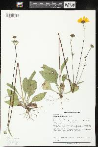 Image of Helianthus occidentalis