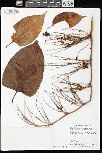 Fallopia japonica image