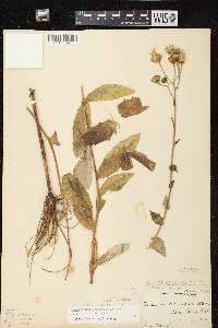 Hieracium x fassettii var. fassettii image