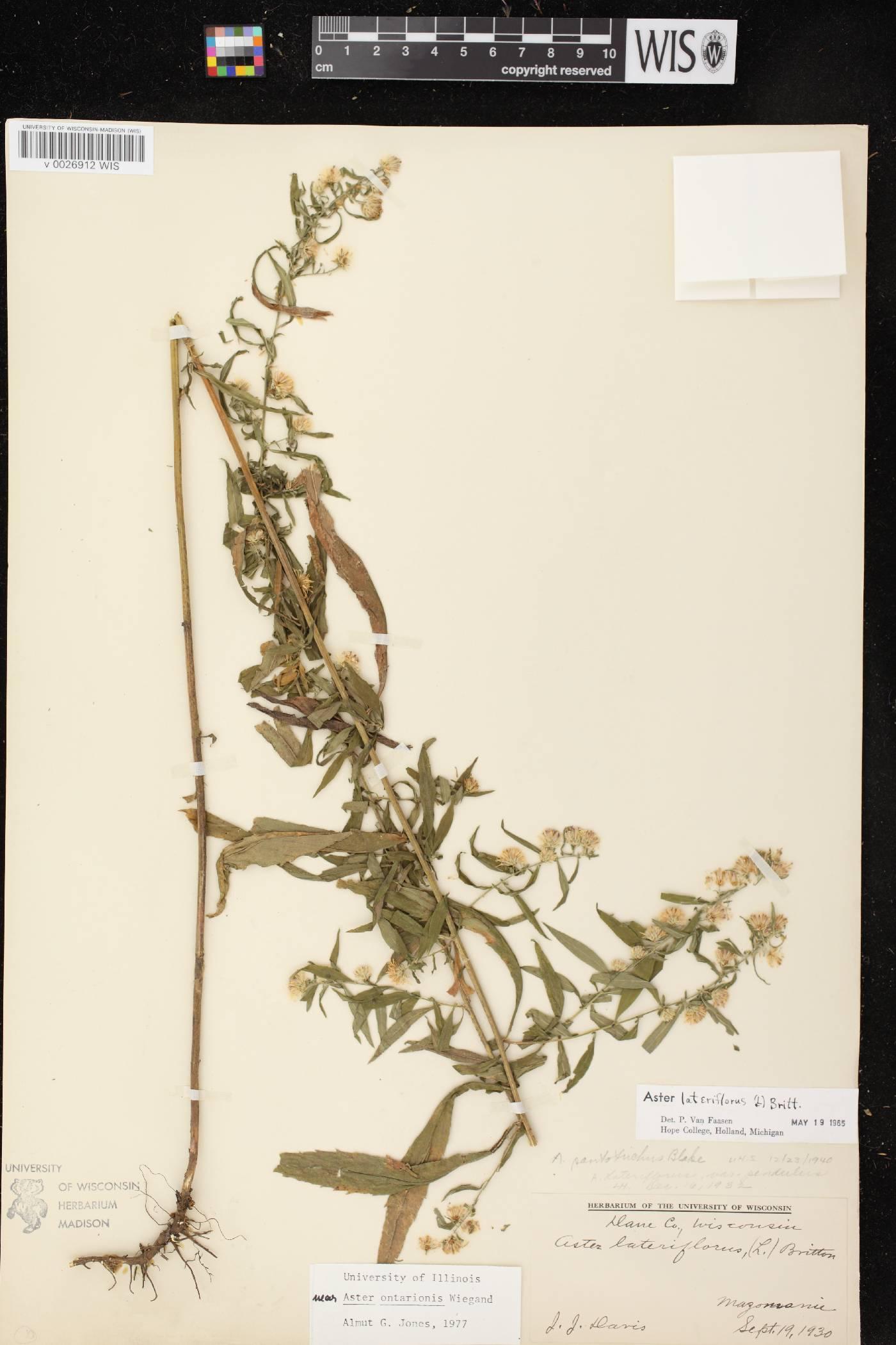Symphyotrichum ontarionis var. ontarionis image