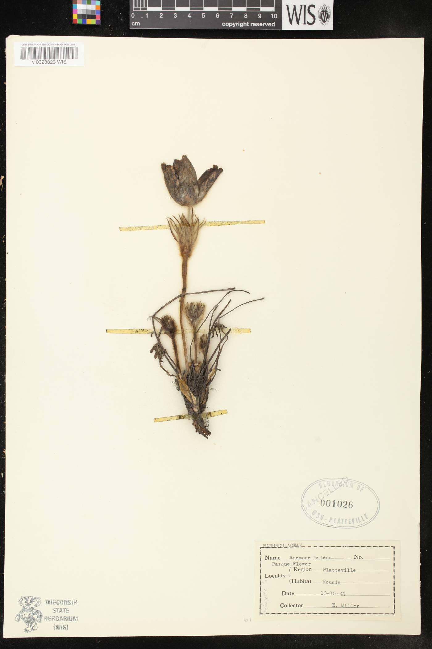 Anemone patens var. multifida image