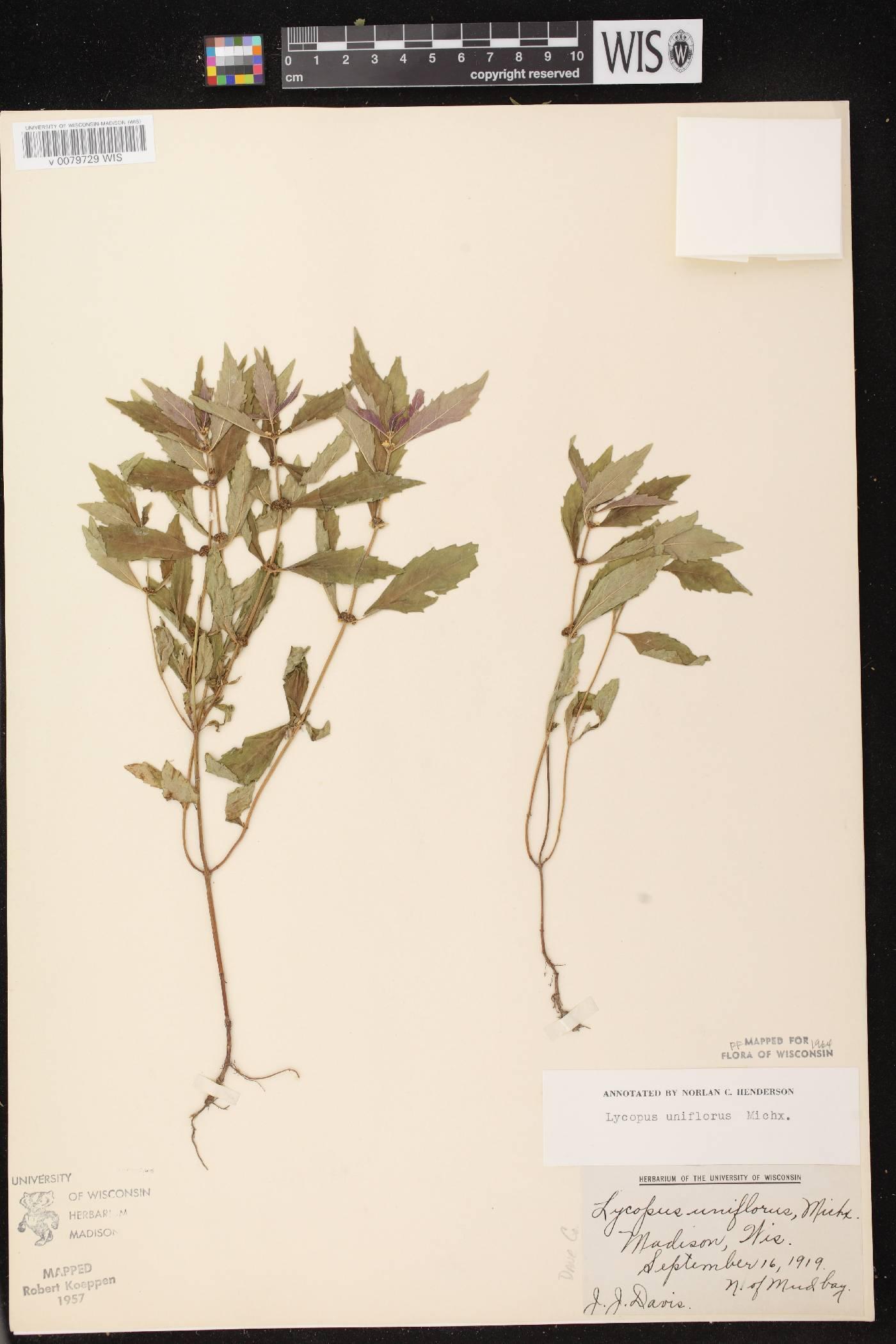 Lycopus uniflorus image