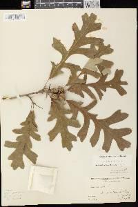 Quercus x bebbiana image
