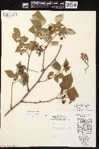 Rubus X neglectus image