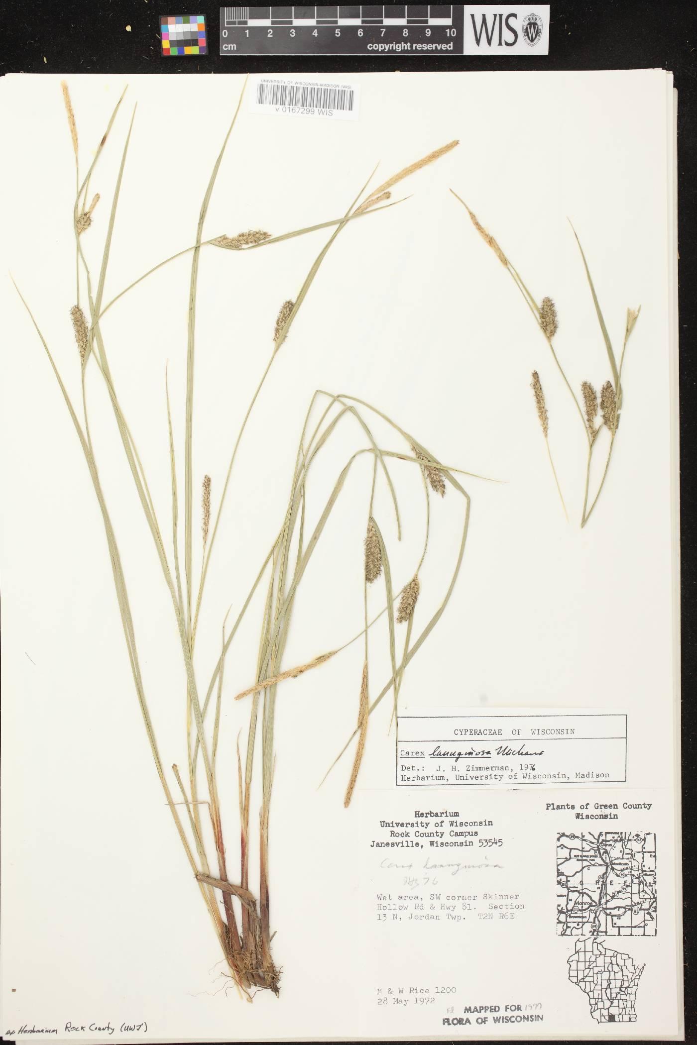 Carex pellita image