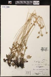 Image of Parnassia palustris