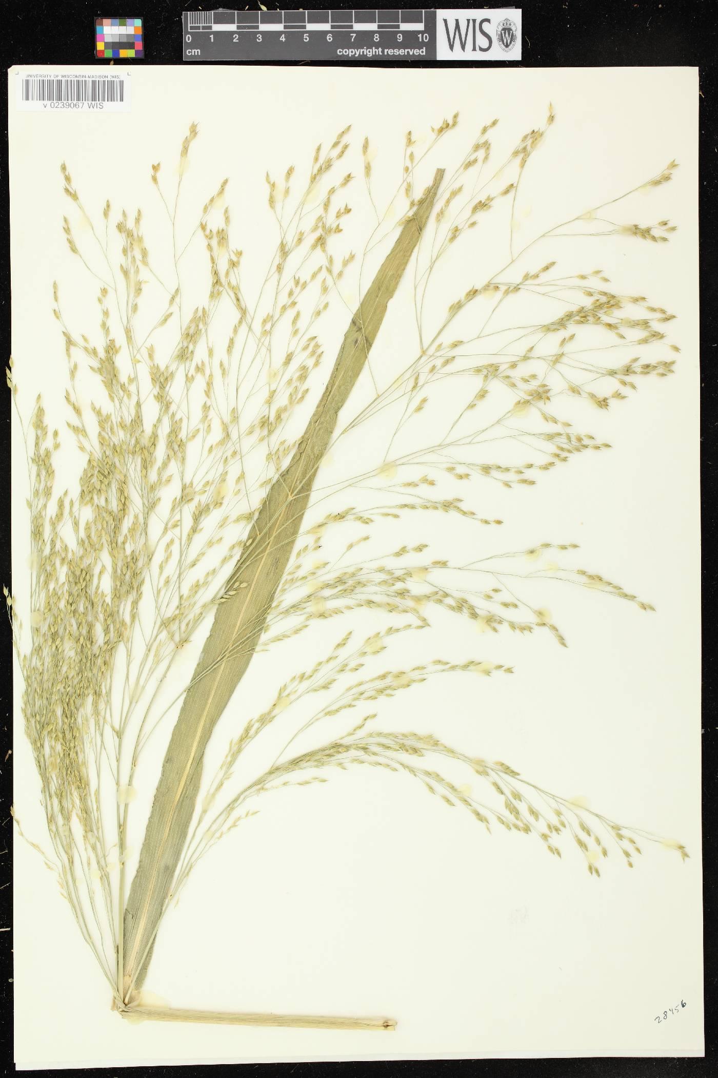Panicum miliaceum subsp. ruderale image