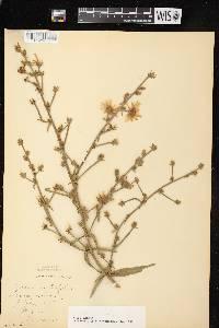 Cichorium intybus image