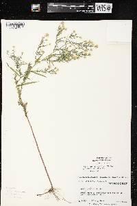 Symphyotrichum racemosum image