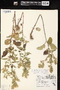 Symphyotrichum drummondii X S. urophyllum image