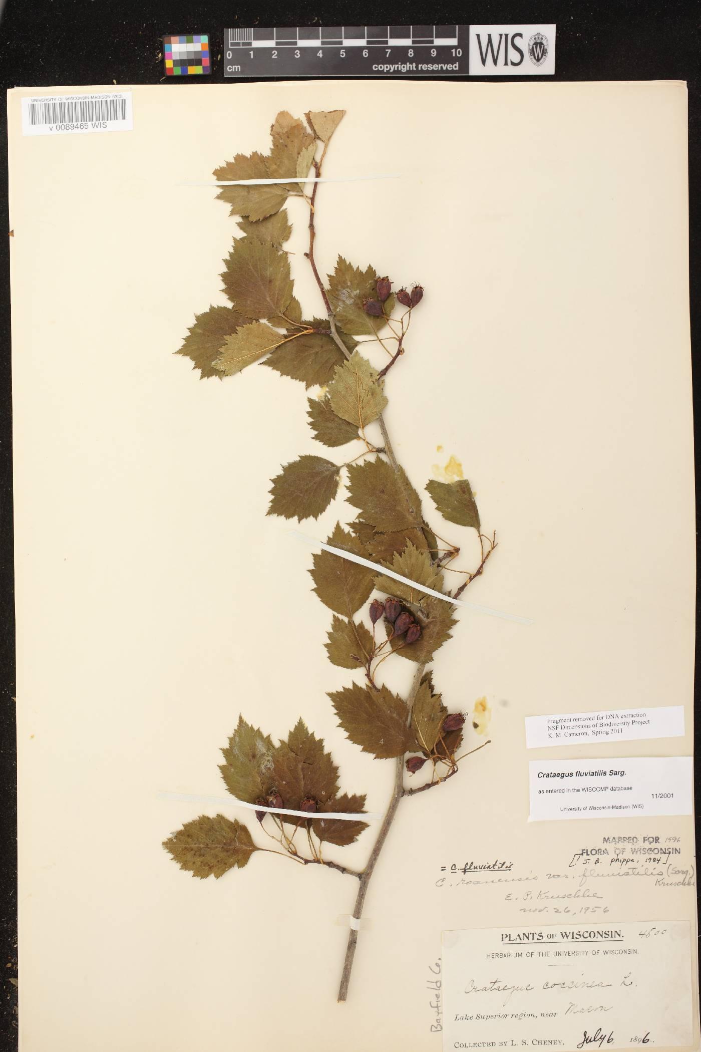 Crataegus fluviatilis image