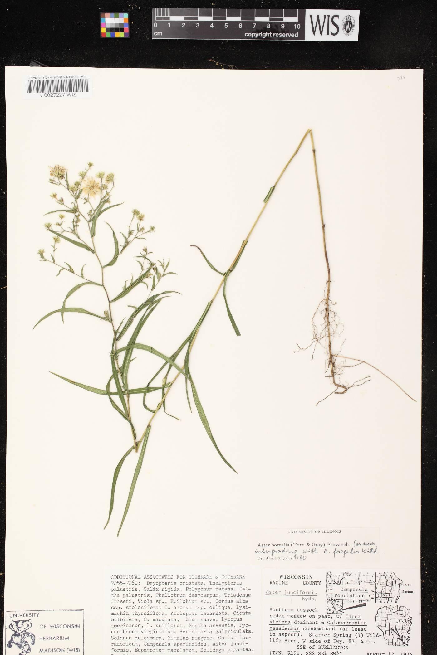 Symphyotrichum boreale X S. racemosum image