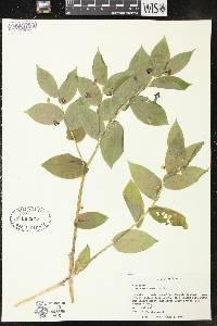 Streptopus lanceolatus var. longipes image