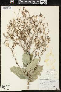 Image of Lactuca ludoviciana
