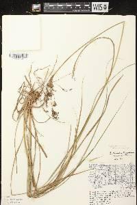 Scirpus atrocinctus X S. cyperinus image