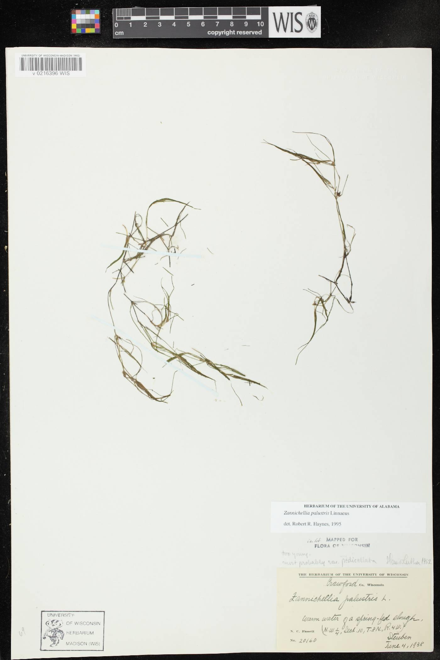 Zannichellia image