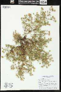 Image of Dyssodia papposa