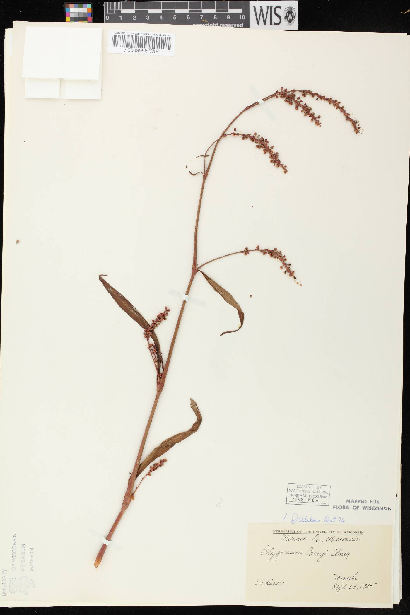 Persicaria careyi image
