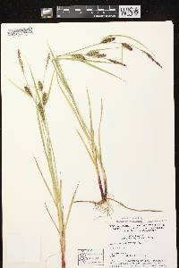 Carex houghtoniana image