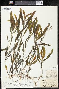 Potamogeton alpinus X P. richardsonii image