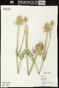 Image of Dipsacus laciniatus