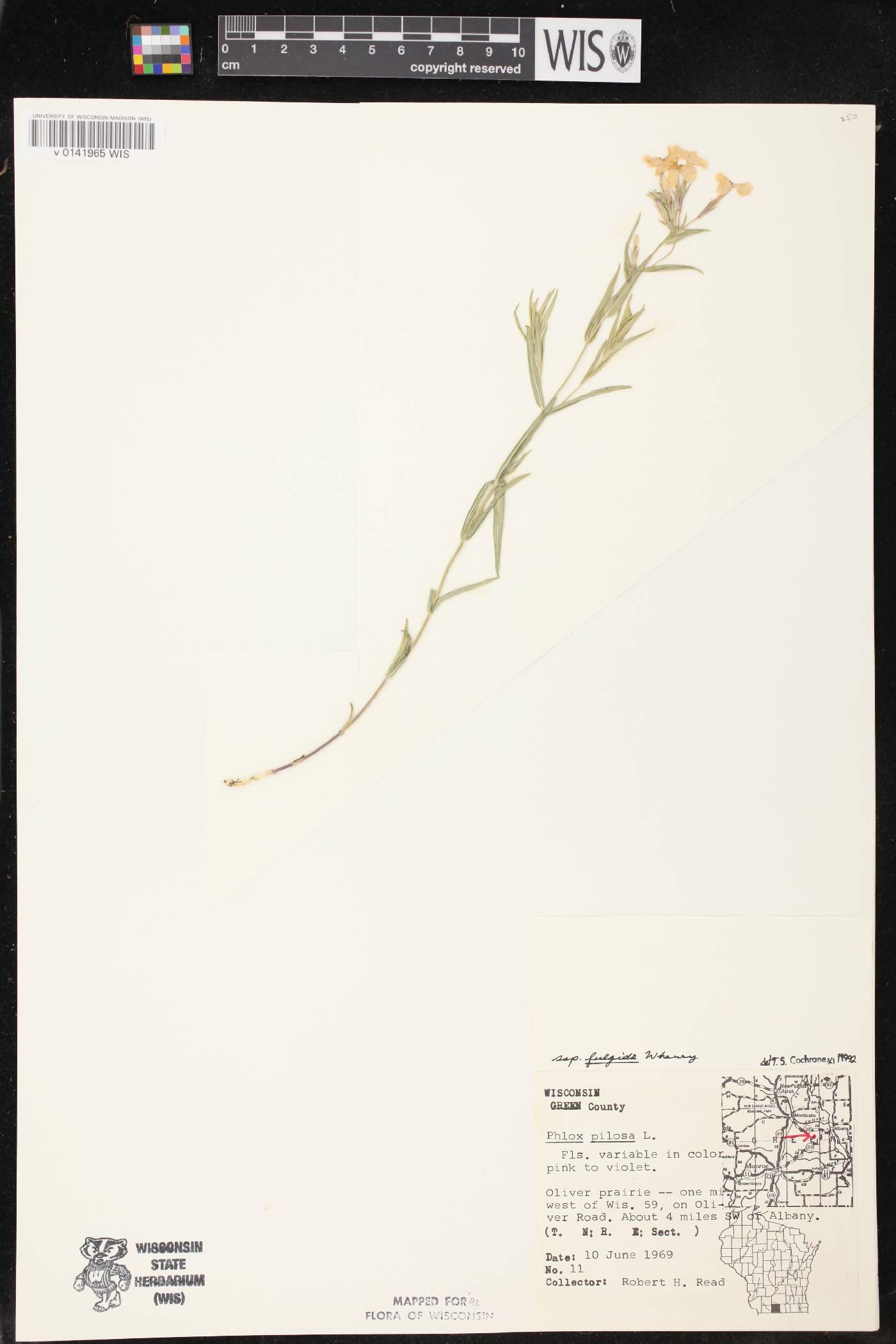 Phlox pilosa subsp. fulgida image