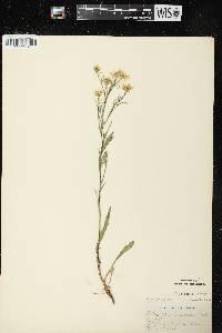 Image of Symphyotrichum pilosum var. pringlei