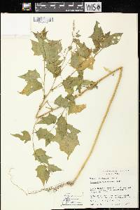 Chenopodium simplex image