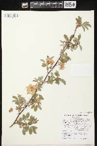 Rosa majalis image