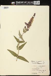 Salvia nemorosa image