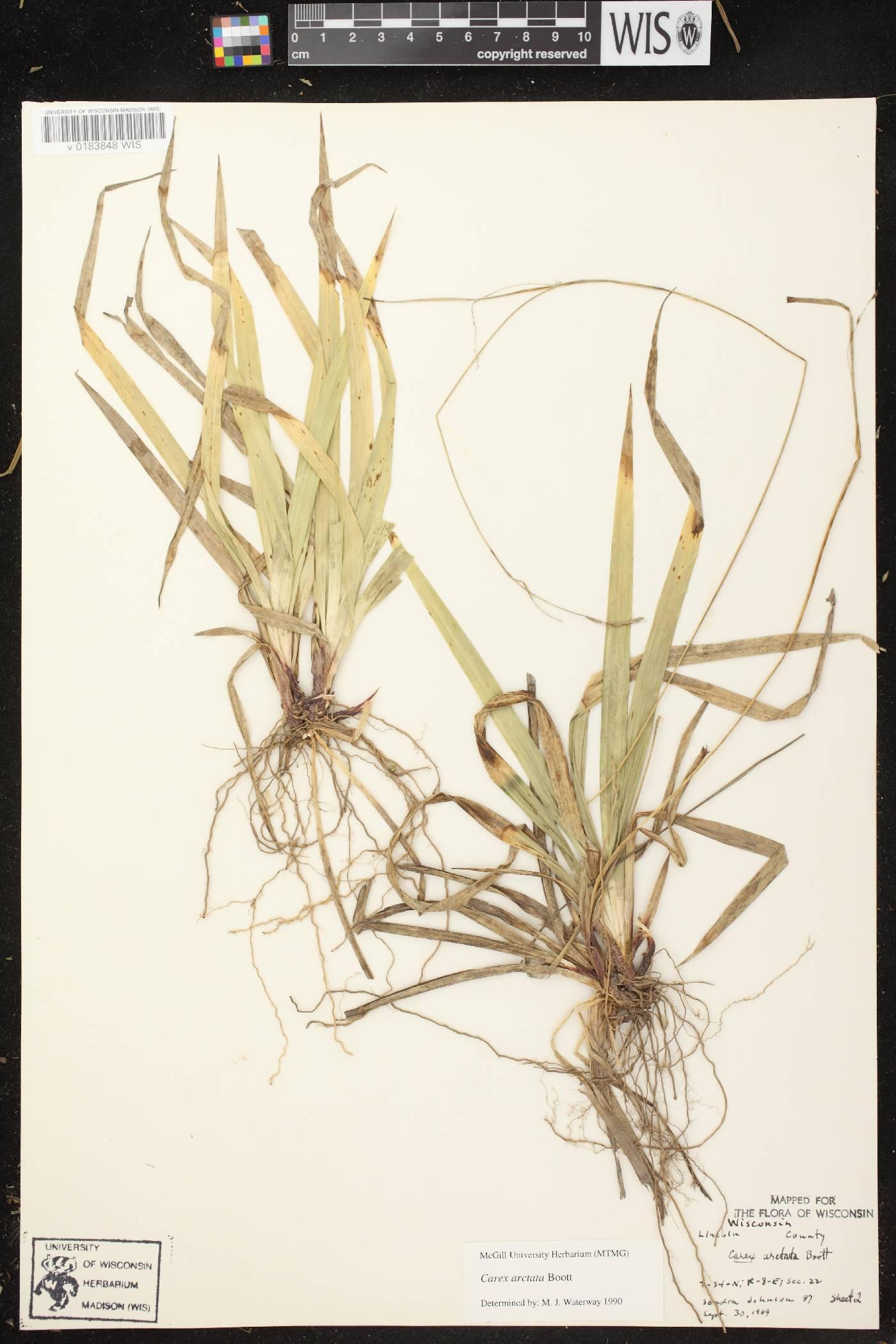 Carex arctata image