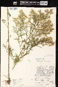 Symphyotrichum lanceolatum var. lanceolatum image